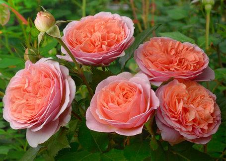 """Корни роз сорт """"Чарльз Остин"""", фото 2"""