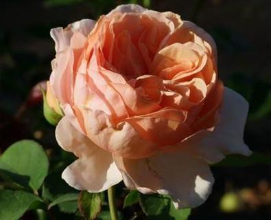 """Корни роз сорт """"Анна Фенди"""", фото 2"""