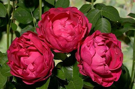 """Корни роз сорт """"Аскот"""", фото 2"""