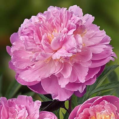 """Корни роз сорт """"Белладонна"""", фото 2"""