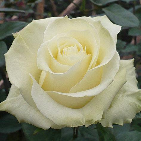 """Корни роз сорт """"Белый шоколад"""", фото 2"""
