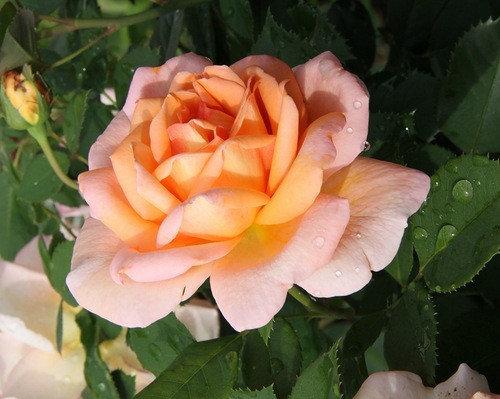 """Корни роз сорт """"Бель дю Сеньор"""", фото 2"""