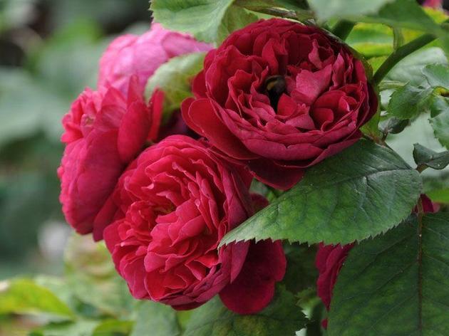 "Корни роз сорт ""Бисантенэр де Гийо"", фото 2"