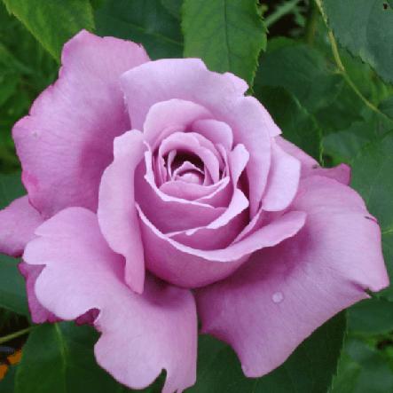 """Корни роз сорт """"Блю Парфюм"""", фото 2"""