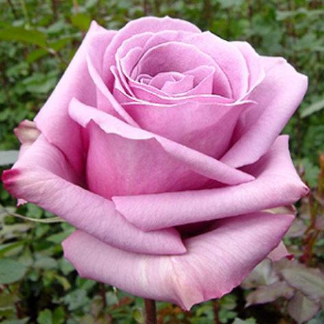 """Корни роз сорт """"Блю Кариоза"""", фото 2"""