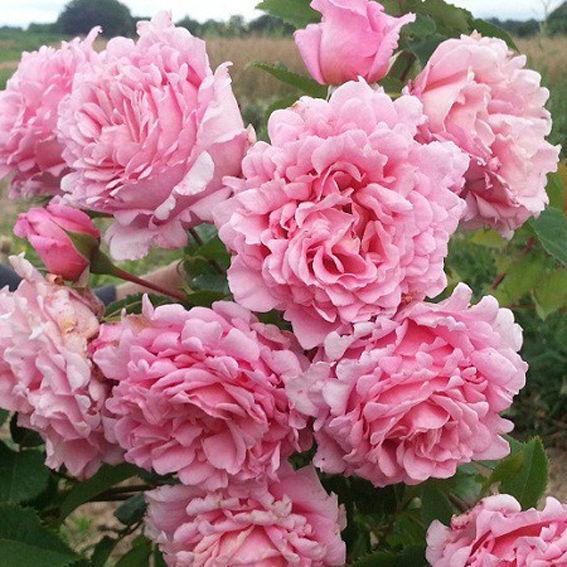 "Корни роз сорт ""Бьенвеню"""