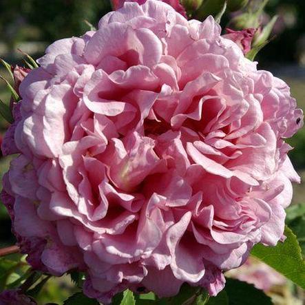 "Корни роз сорт ""Бьенвеню"", фото 2"
