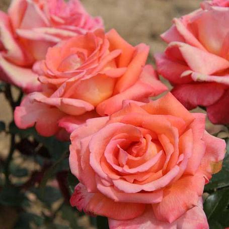 """Корни роз сорт """"Ведетте"""", фото 2"""
