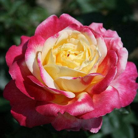 """Корни роз сорт """"Восточный Экспресс"""", фото 2"""
