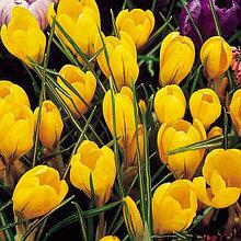 """Луковицы крокусов сорт """"Yellow Mammouth (Йеллоу Маммос)"""""""