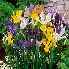 """Луковицы ирисов сорт """"Dutch Iris Mixed (Ирис голландский смесь)"""""""