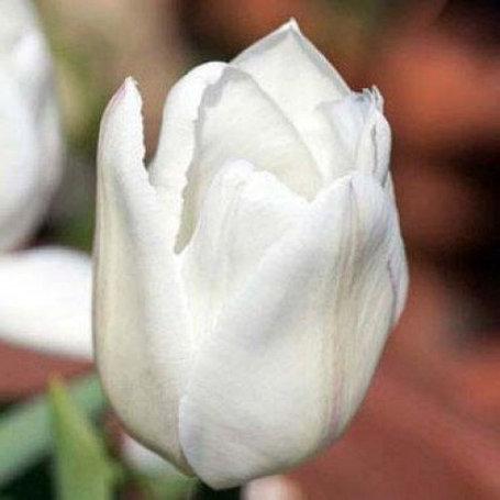 "Луковицы тюльпанов сорт ""White Prince (Белый Принц)"", фото 2"