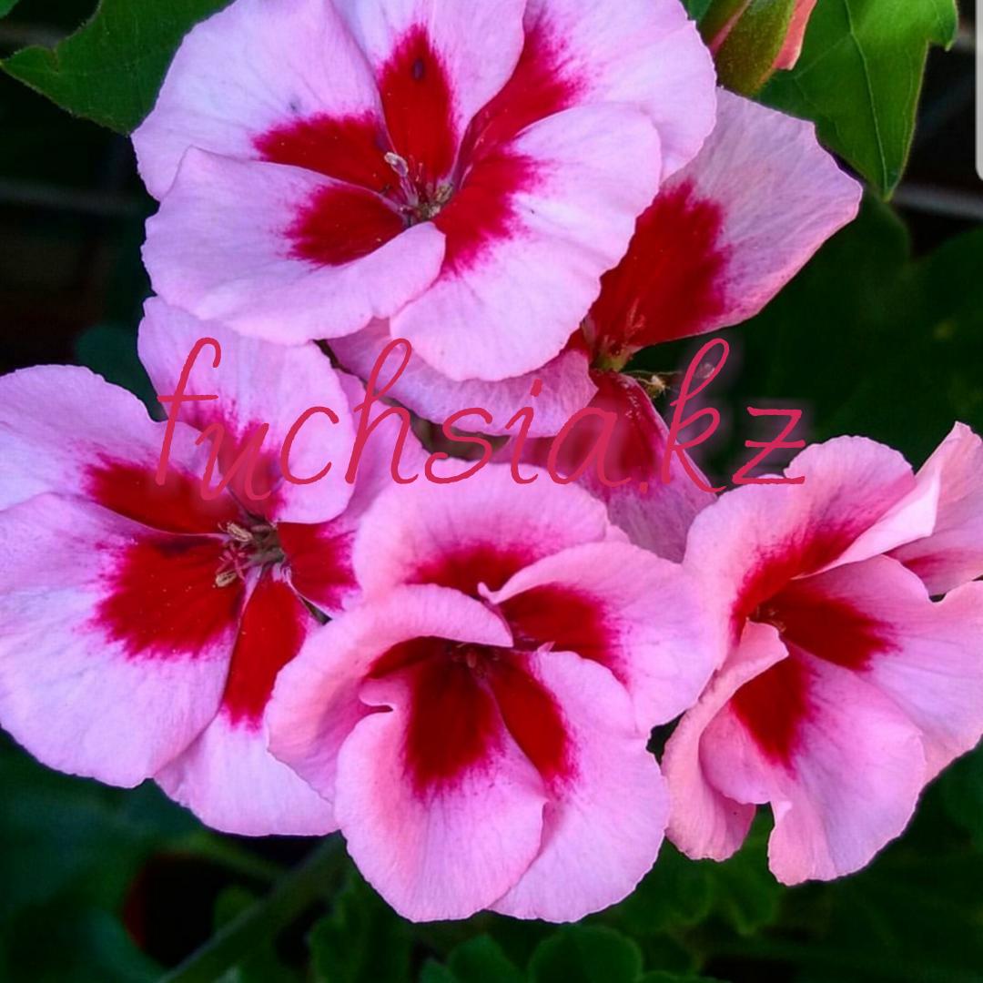 Americana Rose Magenta Splash / подрощенное растение