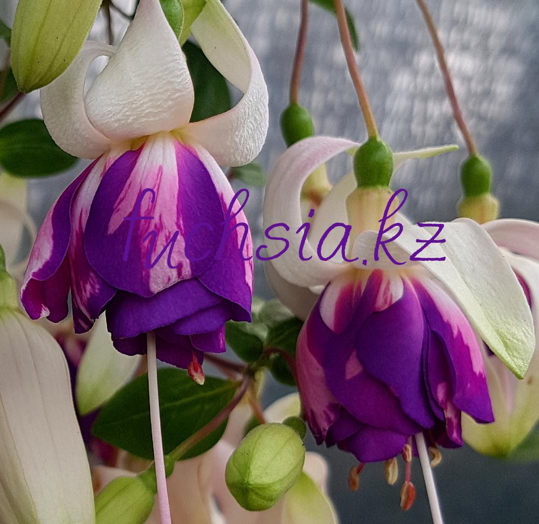 American Prelude / подрощенное растение