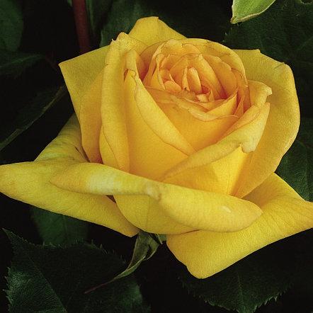 "Корни роз сорт ""Голден Тауэр"", фото 2"