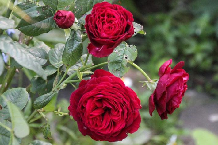 """Корни роз сорт """"Госпель"""", фото 2"""