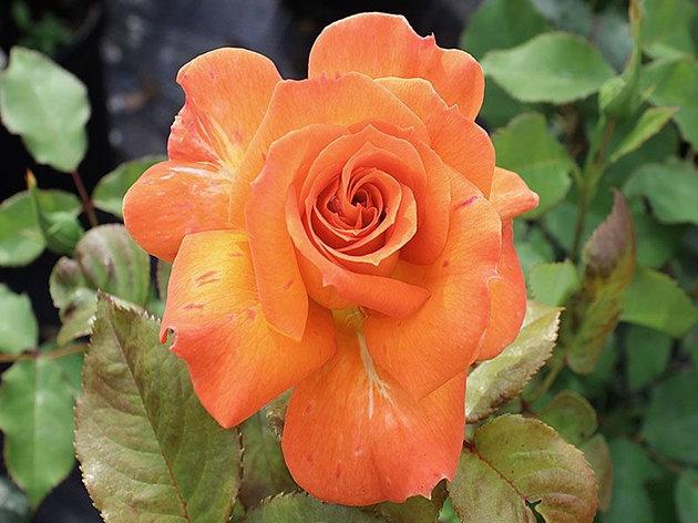 """Корни роз сорт """"Гренадин"""", фото 2"""