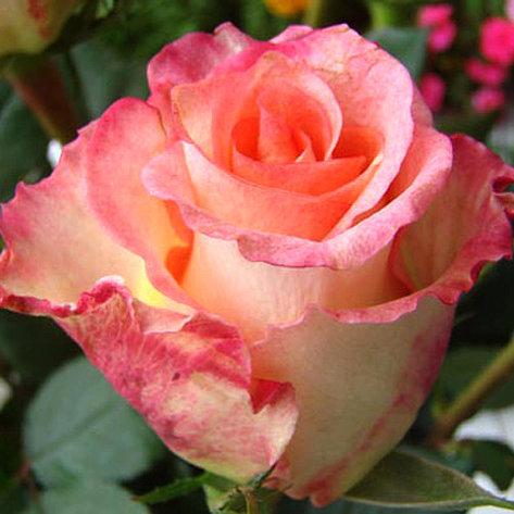 """Корни роз сорт """"Дуэт"""", фото 2"""
