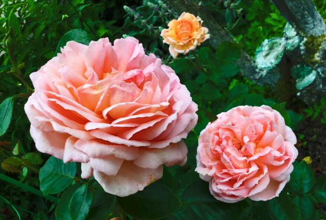 "Корни роз сорт ""Жаде"", фото 2"