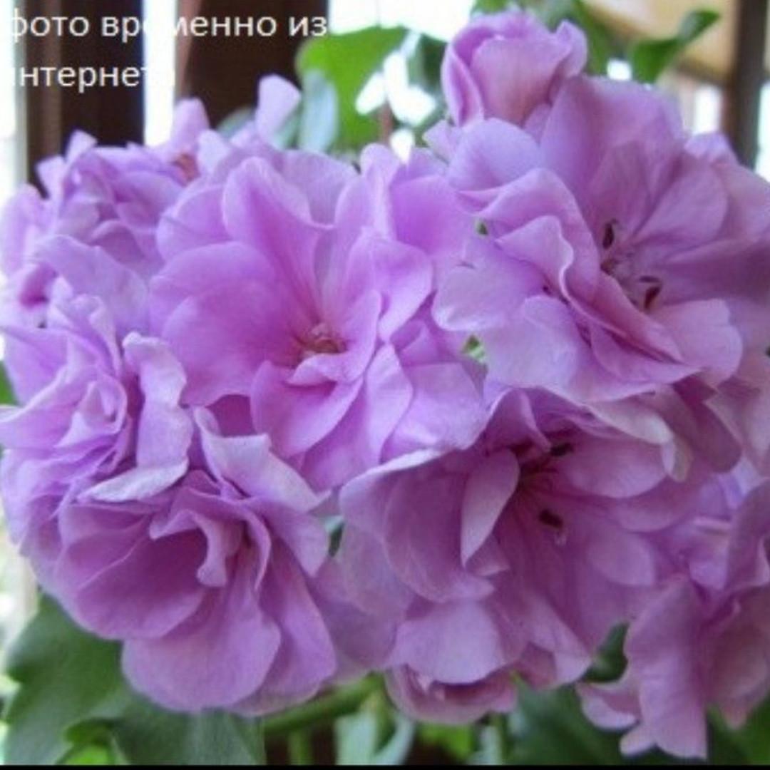 Pac Lilac Rose/ укор.черенок
