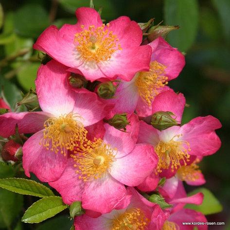 "Корни роз сорт ""Жанита"", фото 2"