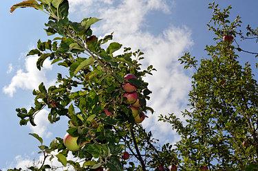 Наш яблоневый сад прекрасен в любое время года. Но весной он еще и благоухает!