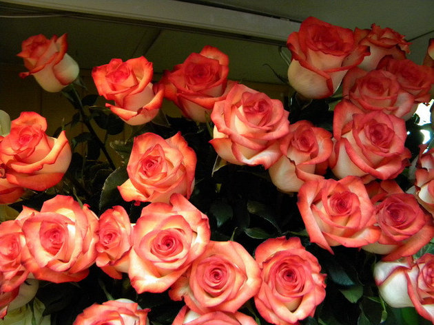 """Корни роз сорт """"Игуана"""", фото 2"""