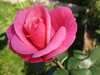 "Корни роз сорт ""Карина"""