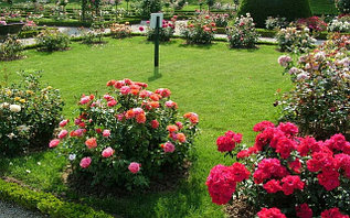 Клумбовые Розы (Флорибунда)