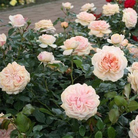 "Корни роз сорт ""Гарден оф Роузес"", фото 2"