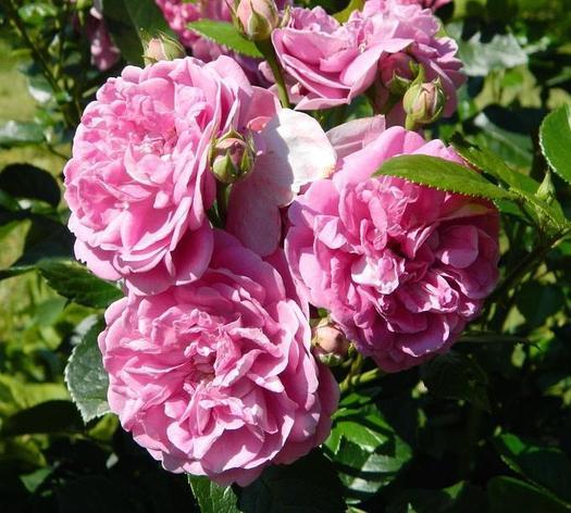 """Корни роз сорт """"Голубой медведь"""", фото 2"""