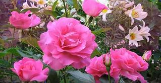 """Корни роз сорт """"Даниэль Желен"""""""