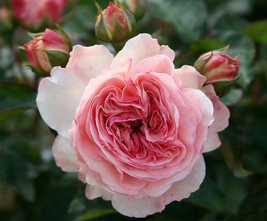 """Корни роз сорт """"Мария Терезия"""""""
