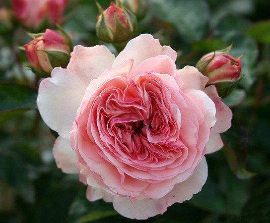 "Корни роз сорт ""Мария Терезия"", фото 2"