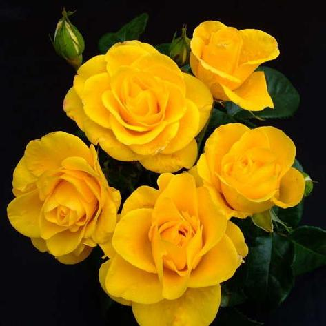 "Корни роз сорт ""Нёрс Трэйси Дэвис"", фото 2"