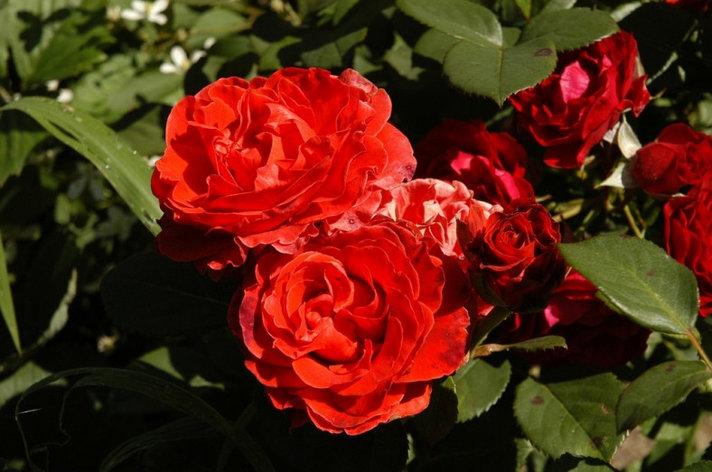 "Корни роз сорт ""Озо"", фото 2"