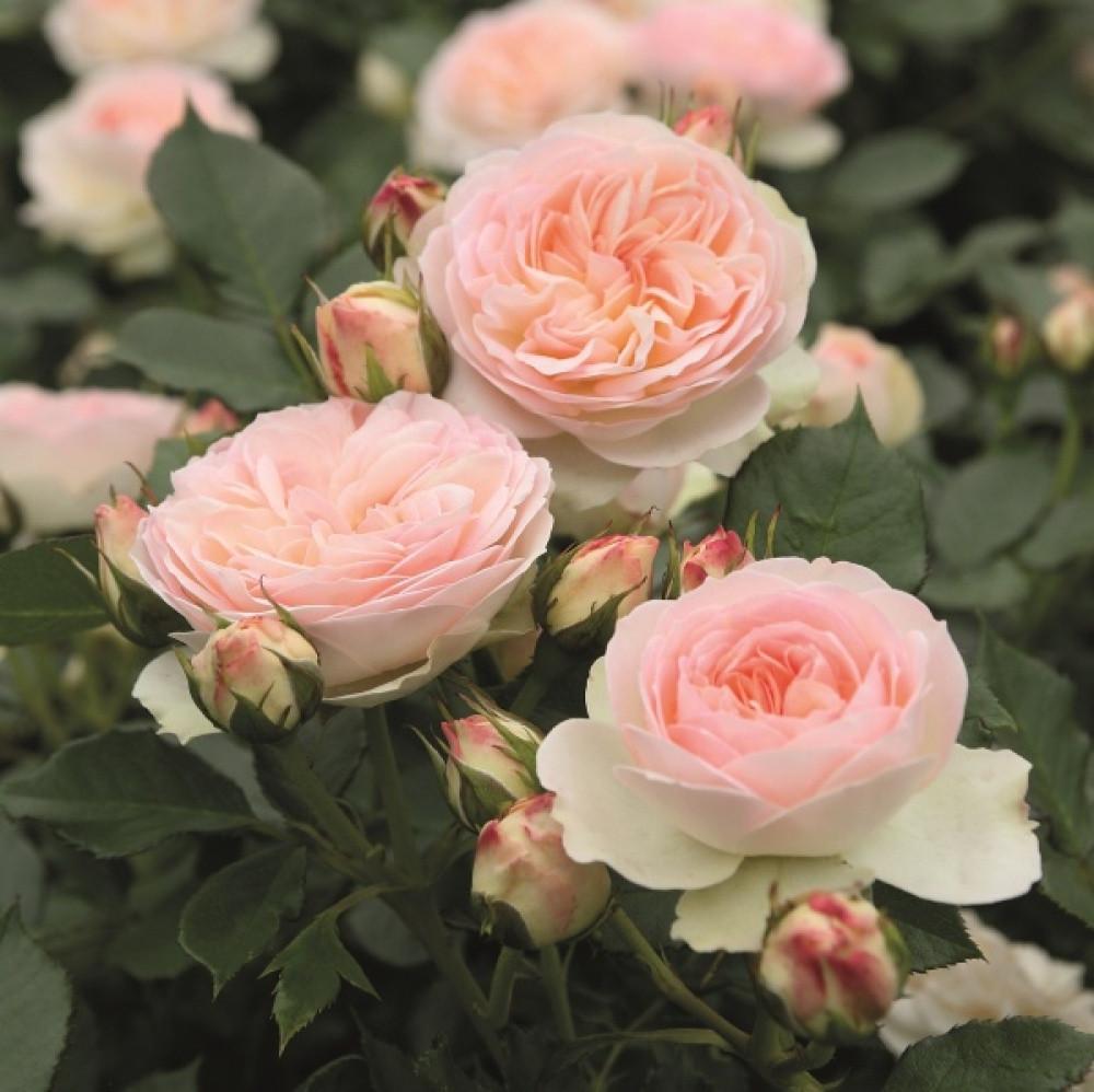 "Корни роз сорт ""Пастелла"""