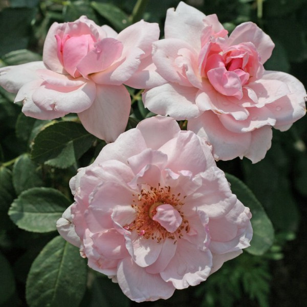 "Корни роз сорт ""Пти Трианон"""