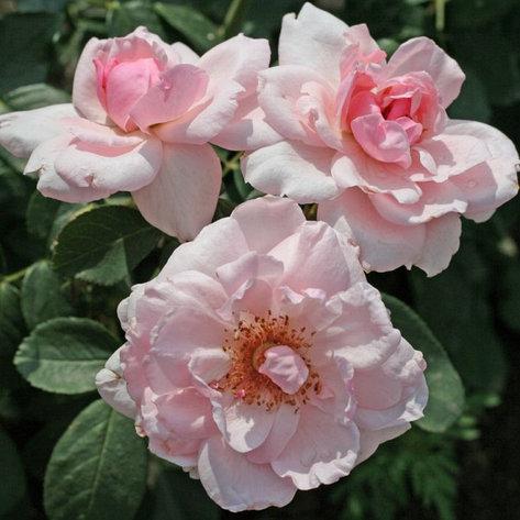 """Корни роз сорт """"Пти Трианон"""", фото 2"""