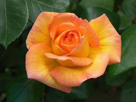"Корни роз сорт ""Филипп Нуаре"", фото 2"