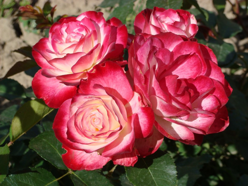 "Корни роз сорт ""Юбилей дю Принц де Монако """