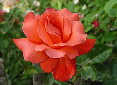 "Корни роз сорт ""Аве Мария"""