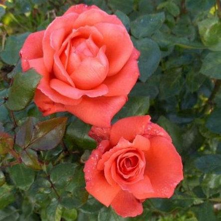 """Корни роз сорт """"Аве Мария"""", фото 2"""