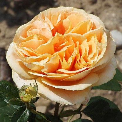 """Корни роз сорт """"Кэндллайт"""", фото 2"""