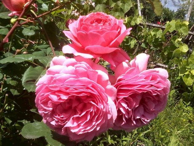 "Корни роз сорт ""Александра оф Кент"", фото 2"
