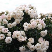 """Корни роз сорт """"Артемис"""""""