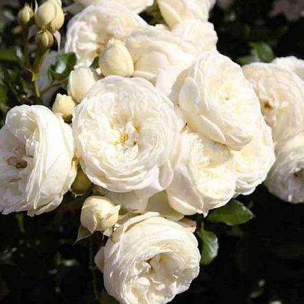 """Корни роз сорт """"Артемис"""", фото 2"""