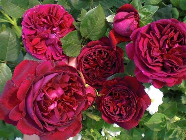 "Корни роз сорт ""Астрид Графин фон Харденберг"", фото 2"