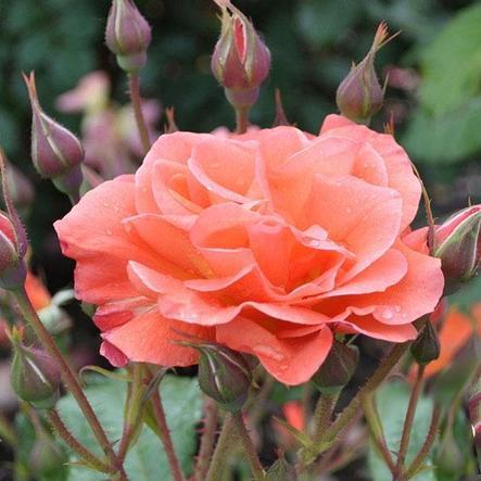"""Корни роз сорт """"Вестерленд"""", фото 2"""