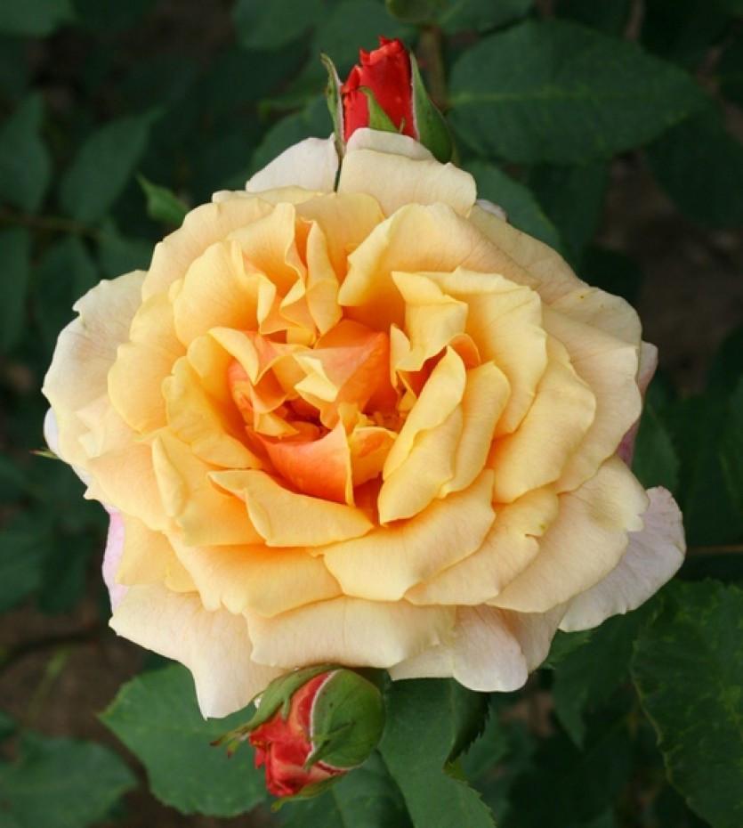 "Корни роз сорт ""Карамелла"""